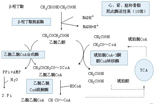 α-氧化:长链脂肪酸的a-碳在加单氧酶的催化下氧化