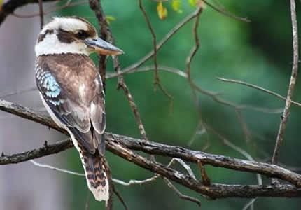 笑翠鸟生活在澳大利亚的森林中